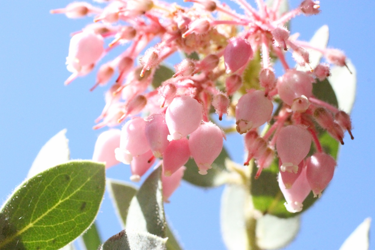 Delicate flowers of the manzanita tree common at the James