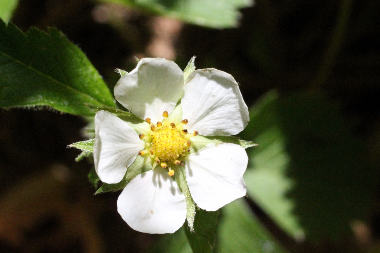 Wild strawberry flower
