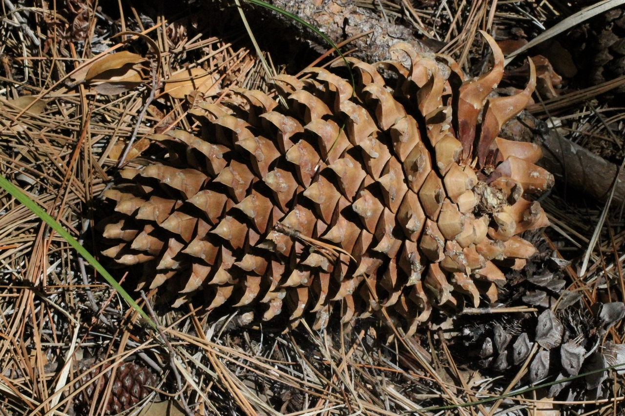 Huge Coulter Pine cone characteristic of the San Jacinto Mountains
