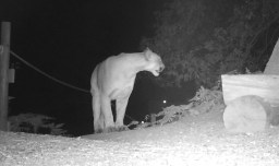 Mountain lion outside of Trailfinders Lodge