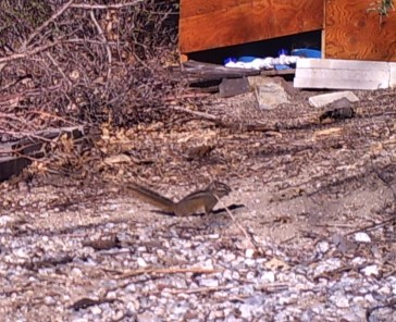 California chipmunk, photo from the James Reserve