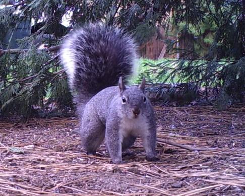 Western Gray Squirrel