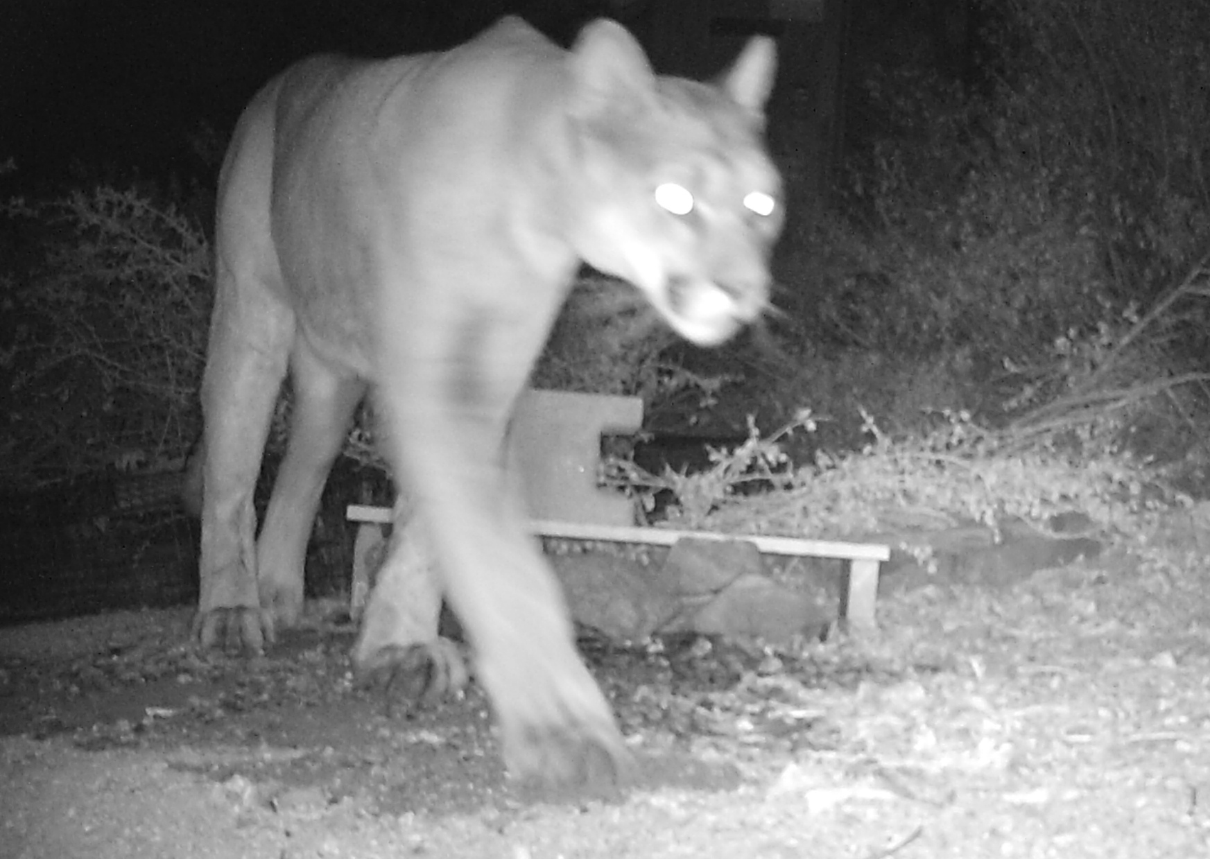 Mountain lion or puma
