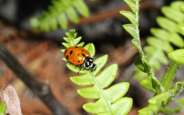 Ladybug on fern leaf at the James