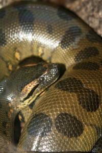 Anaconda-rev-200x300