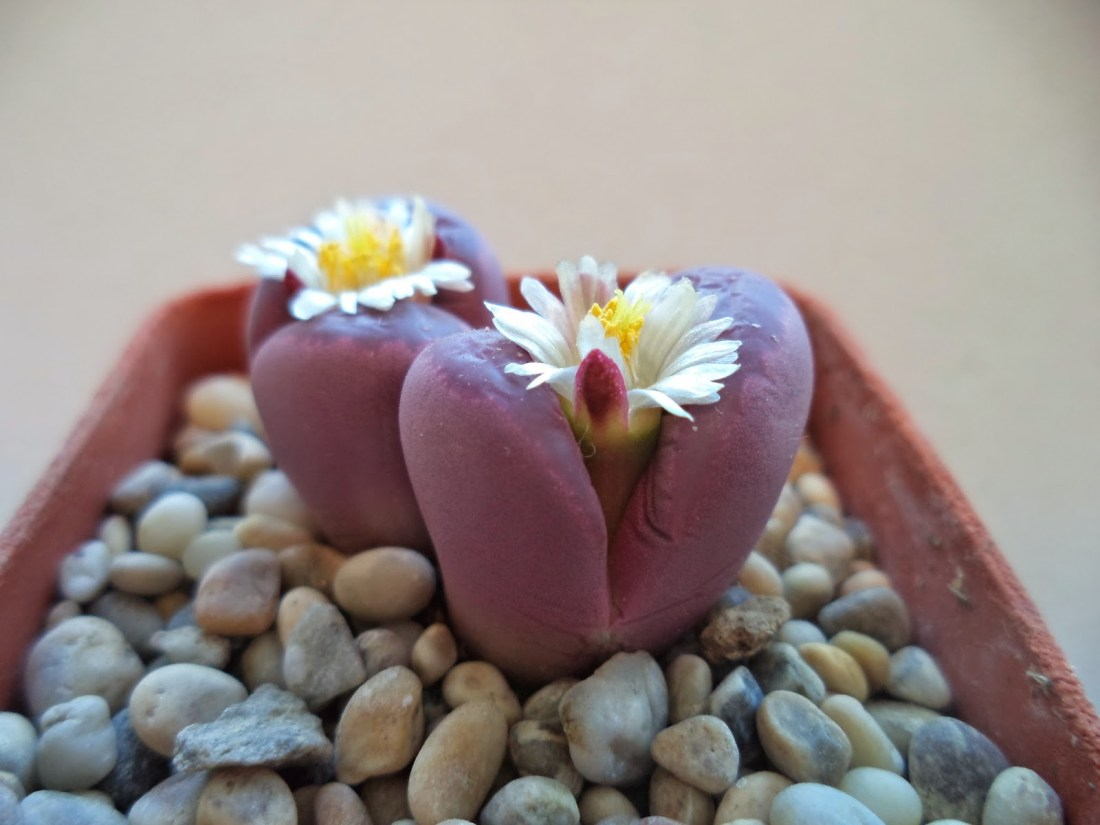 Image result for lithops optica rubra