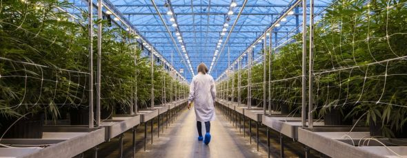Cannabis Greenhouse Quebec James Alexander Michie