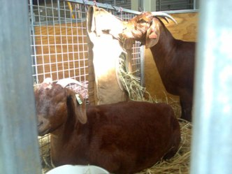 Goats In Pens