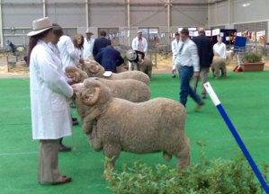 Judging Sheep