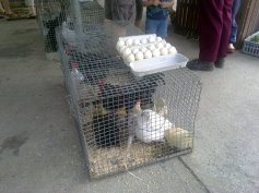 Chooks for sale