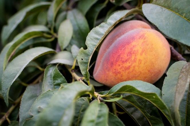 Masumoto-Farms-Peach-Adoption-1