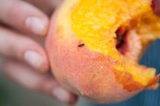 Masumoto-Farms-Peach-Adoption-9