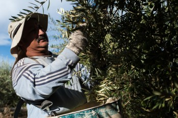 PR-Farms-Olive-Harvest-16