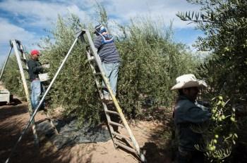 PR-Farms-Olive-Harvest-17