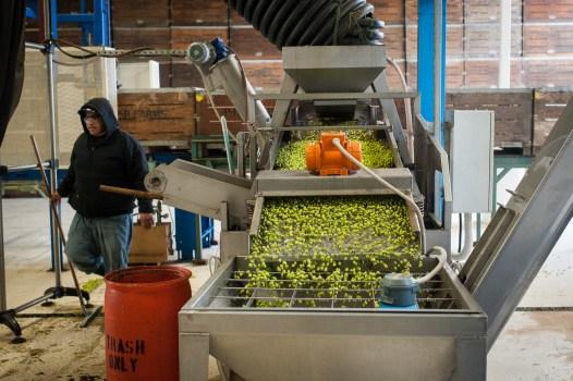 PR-Farms-Olive-Harvest-21