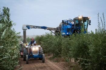 PR-Farms-Olive-Harvest-5
