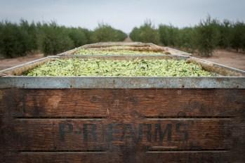 PR-Farms-Olive-Harvest-7