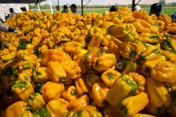 Uesugi-Farms-Harvest-14