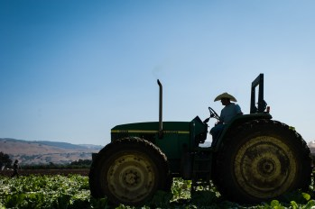 Uesugi-Farms-Harvest-7