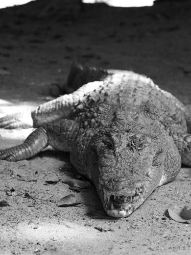 Crocodile, the Gambia