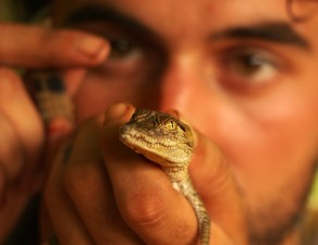 With crocodile hatchling, the Gambia.