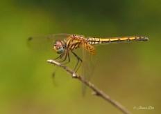 Dragonfly, India