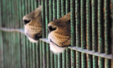 lions-in-cage-reuters-and-ali-jarekji-1