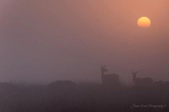 Curbar Edge Deer at Sunrise in the Mist - Peak District Photorgaphy