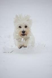 west highland terrier, westie, running, snow, pet, dog, cute, amersham, buckinghamshire, fast shutterspeed