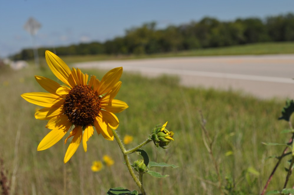 Sunflower by the Road