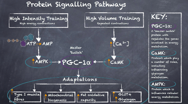 Cycling Nutrition Protein Signalling Pathways