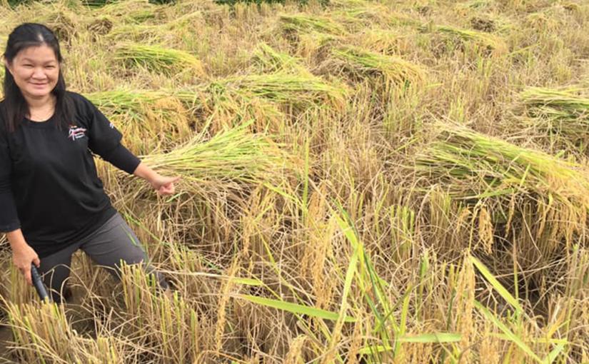 Orang bumai padi SRI Ba' Kelalan gagit ngetau asil padi keterubah