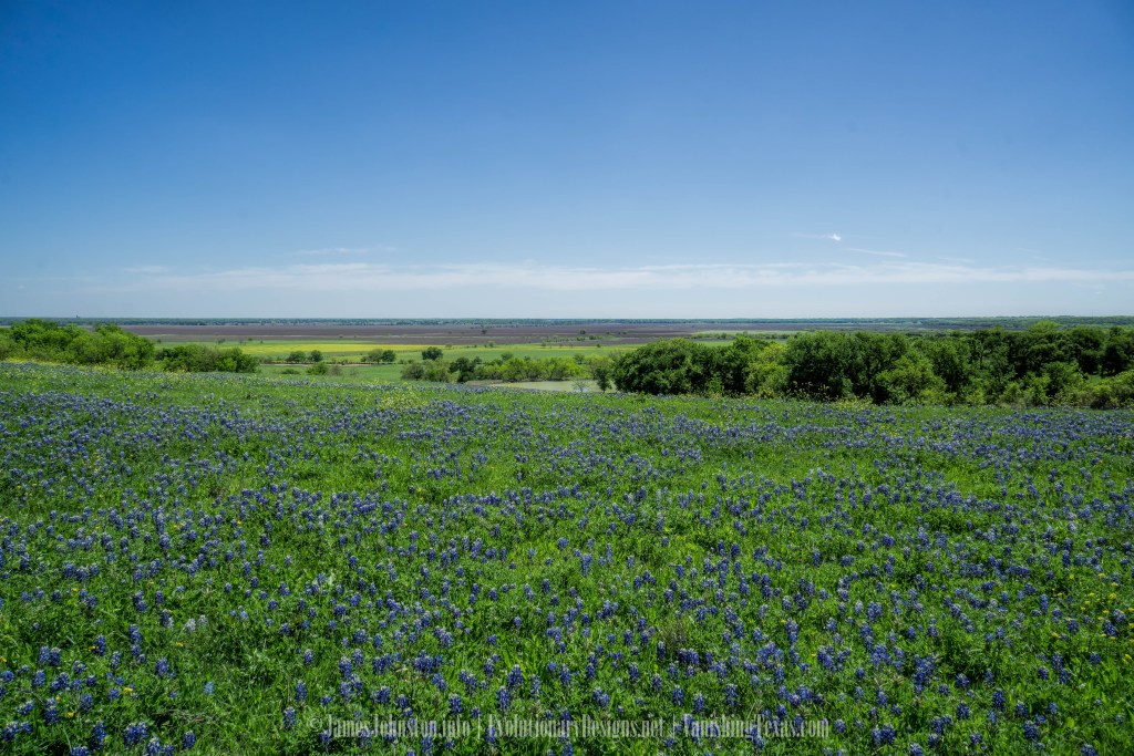 Bluebonnets on the Ennis Bluebonnet Trails