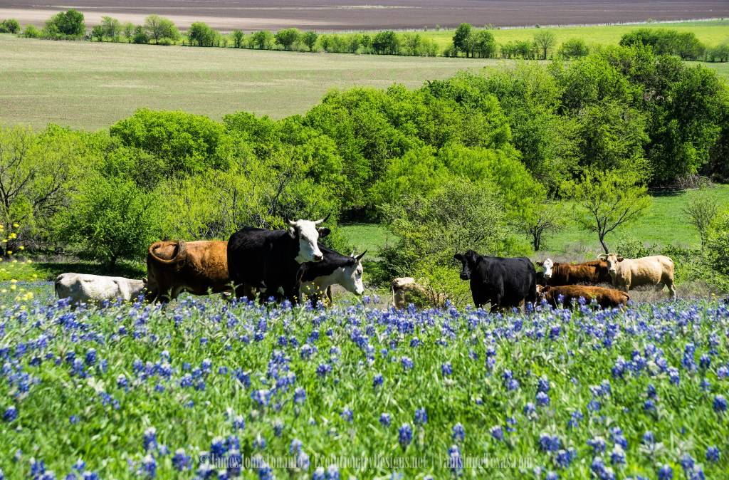 Bluebonnets and cattle on the Ennis Bluebonnet Trails