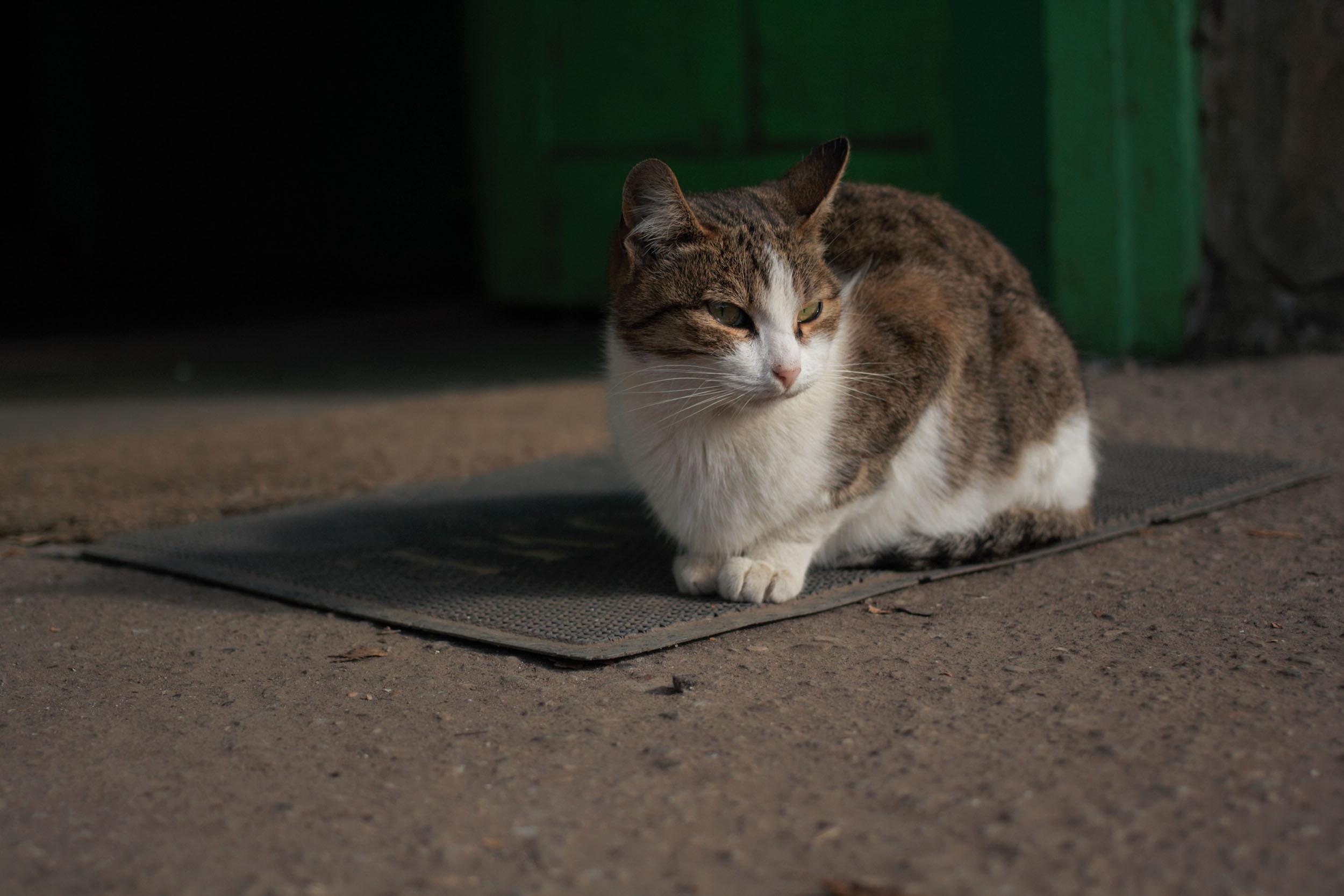 cat portrait on doormat