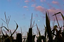 Moon Through Corn