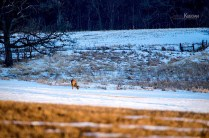 Whitetail Deer grazing