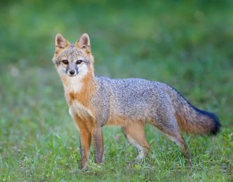 Gray Fox in Short Grass