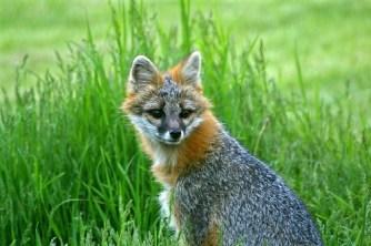 Gray Fox in Tall Grass