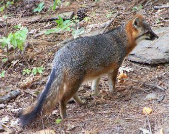 Gray Fox With Black Tail Stripe