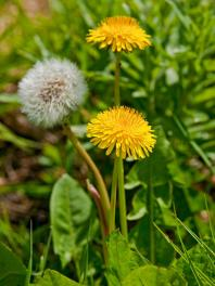 Dandelion via DIY Network