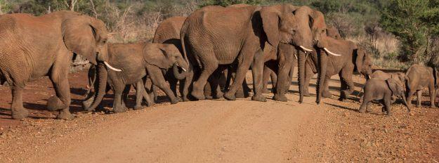 Elephants crossing road in Africa