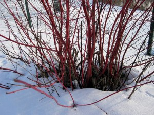 Beautiful red coloured plant against snow background in Norrkoping