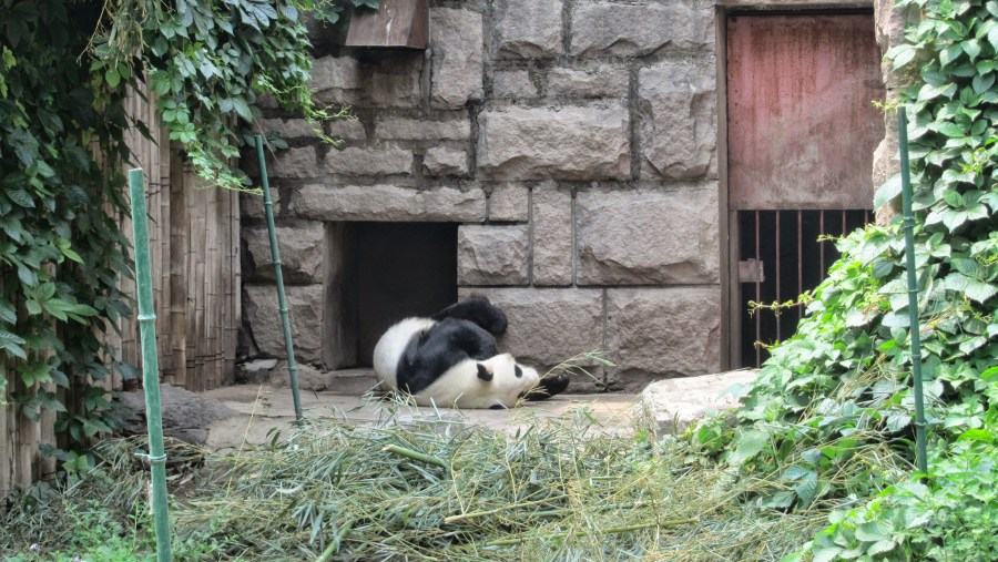 Panda at Bejing Zoo