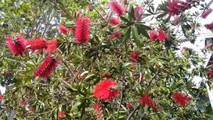 Bottle Brush, Surry Hills