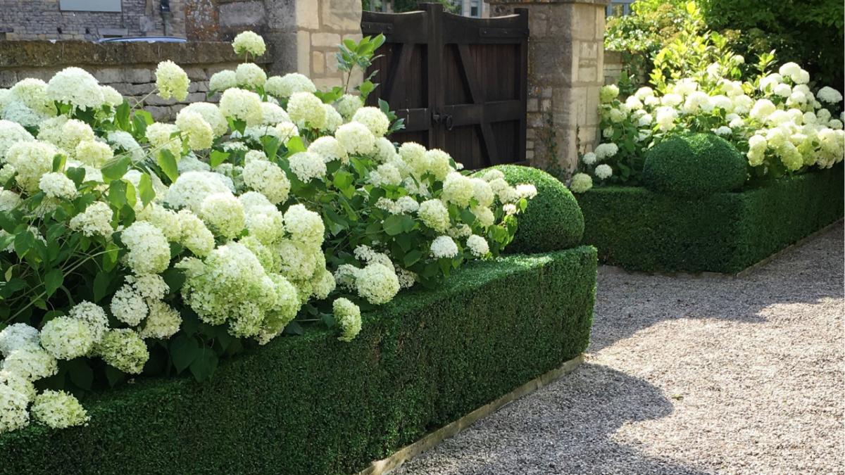 Hydrangea Annabelle Buxus