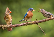 "Two well-known local naturalists and birders, Ruth Lundin and Jim Berry, are presenting virtual birding sessions for Audubon Community Nature Center. This photograph, ""Feeding Time,"" of a female cardinal and a male bluebird feeding its young, by Vienna, Va., photographer Kathrin Swoboda was a Finalist in an Audubon Nature Photography Contest."