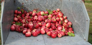 If you are planning to use your apples for sweet cider, hard cider, wine or preserves, you will want to be sure they are fully ripe. You can learn how to test for apple ripeness at Audubon Community Nature Center on Tuesday evening, September 22.
