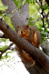 Fox squirrels are the big ones. Head shots provide a sure kill and plenty of meat for the pot.