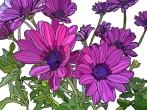 purple dailsyc